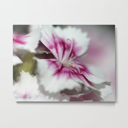 Sweet William from the Super Duplex Bluepoint Mix Metal Print