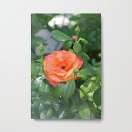 Orange Rose in the Garden  Metal Print