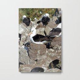 Albatross Colony Metal Print