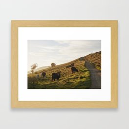 Cattle grazing on mountainside. Derbyshire, UK. Framed Art Print