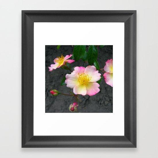 wild rose IV Framed Art Print