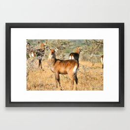 Waterbuck Framed Art Print