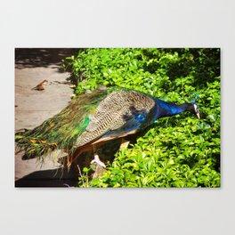 Peacock in the Garden Canvas Print
