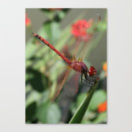 Red Skimmer or Firecracker Dragonfly Canvas Print