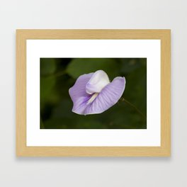 Butterfly Pea Flower Framed Art Print
