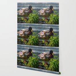 Mallard. Wallpaper