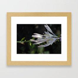 white hosta flower Framed Art Print