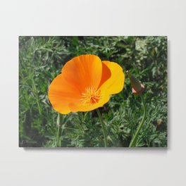 Golden Beauty. California Poppy. © J. Montague. Metal Print