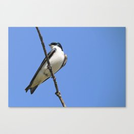 Handsome Male Tree Swallow on a Branch Canvas Print