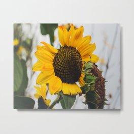 Sunflower Season Ends Metal Print