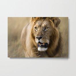 Lion, Masai Mara Metal Print