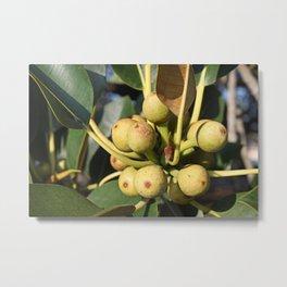 Fig Tree Metal Print
