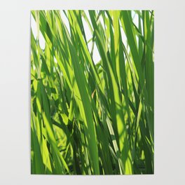 Large reeds leaves in a cane grove Poster