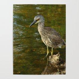 Juvenile Yellow Crowned Night Heron Poster