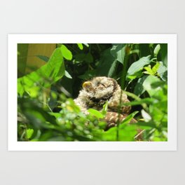 Sunbathing Barred Owl Art Print
