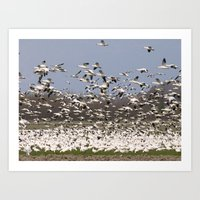 Snow Geese in the Skagit Valley of Washington State Art Print