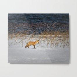 Red Tail Fox on Fish Hook Lake Metal Print