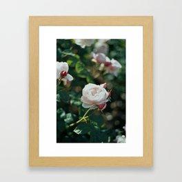 Rose II Framed Art Print