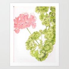 Pale Pink Geranium Art Print