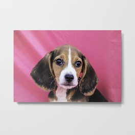 Closeup of a Tricolor Beagle Puppy on a Pink Background Metal Print