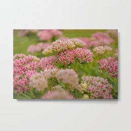 Flowers Pink Sedum Garden A Sunny Day Metal Print