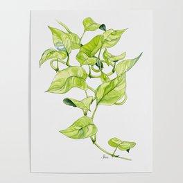 Devils Ivy Illustration Poster