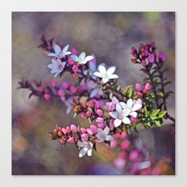 Australian Box Leaf Waxflowers Canvas Print