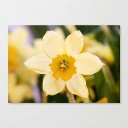 Tête-à-Tête Daffodil Fully Open Canvas Print