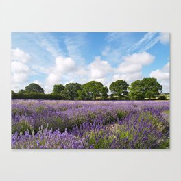 Ripening English Lavender Canvas Print
