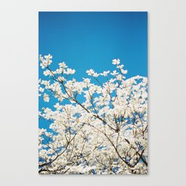White Blooms against Blue Sky Canvas Print
