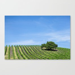 Oak Tree Amid The Grapevines Photograph By Priya Ghose  Canvas Print