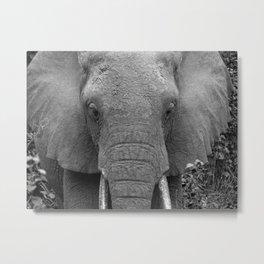 Wildlife Photography ~ Grey Elephant Metal Print