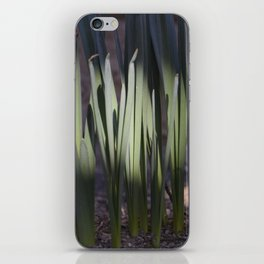 Spring daffodils bulbs in the morning iPhone Skin