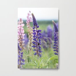 Colorful lupines Metal Print