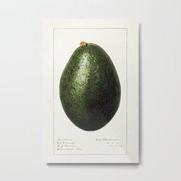 Avocado (Persea) (1916) by Amada Almira Newton. 9 Metal Print