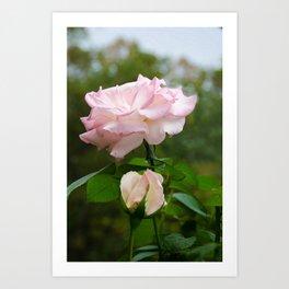 Admiration Pink Rose Nature / Botanical / Floral Photograph Art Print