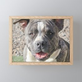 Athena the Miniature Pocket Bully Framed Mini Art Print
