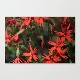A Patch of Fire Pinks in the Smoky Mountains Canvas Print