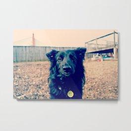 Koko the Border Collie Metal Print