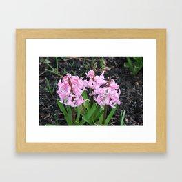 Pink Hyacinthus Framed Art Print