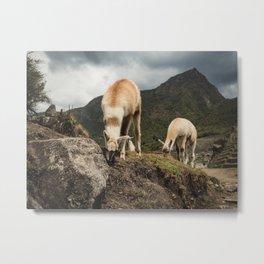 Llamas grazing in Machu Picchu, Peru Metal Print