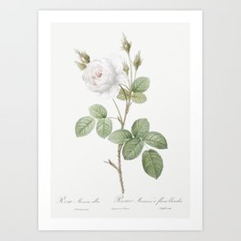 White Moss Rose also known as Misty Roses with White Flowers (Rosa muscosa alba) from Les Roses (181 Art Print