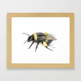 White-tailed bumblebee Framed Art Print