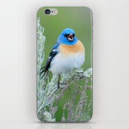 Lazuli bunting and big sage brush iPhone Skin