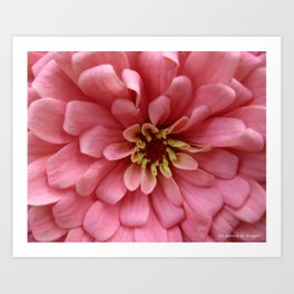 Blush Pink Zinnia Flower Art Print