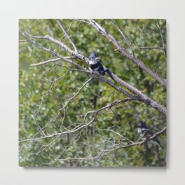 Two 4 One - Belted Kingfisher Metal Print