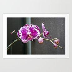 Miltoniopsis Orchid B Art Print