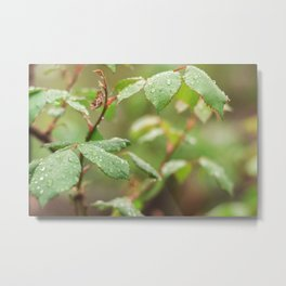 Leaves of roses with drops of water Metal Print
