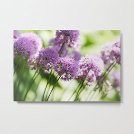 Allium - Onion Flowers 1 Metal Print