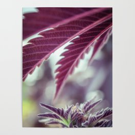 Covered in Cannabis marijuana plant weed photograph Poster